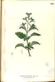Ageratum conyzoides