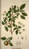 Malus silvestris, Malus sylvestris, Pyrus malus, Malus communis, Pirus Malus, Malus domestica