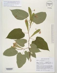 Tilia americana, Tilia glabra, Tilia nigra
