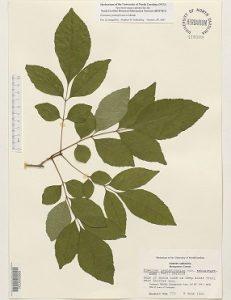 Fraxinus pennsylvanica, Fraxinus pubescens