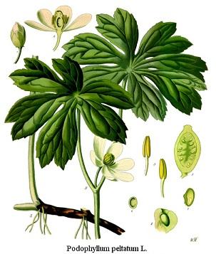 Podophyllum peltatum, Podophyllii rhizoma et resina