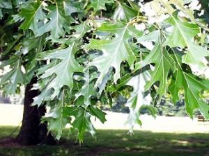 Quercus rubra, Quercus falcata