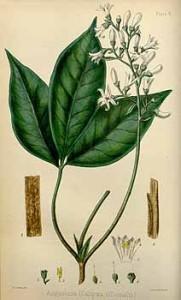 Angostura trifoliata, Angosturae cortex, Cusparia febrifuga, Cusparia officinalis, Galipea cusparia, Galipea officinalis