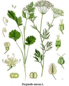 Pimpinella anisum, Anisum vulgare, Anisum vulgaris