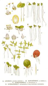 Lemna minor, L. gibba, L. trisulca, Spirodela polyrrhiza.