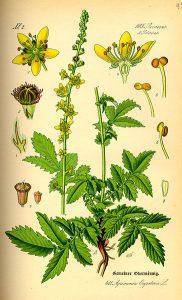 Agrimonia eupatoria; Agrimonia odorata