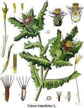 benedekfű, áldottfű, áldott bogáncs, keserű bogáncs, áldott bárcs, áldott haloványka, áldottfű, pápafű, keserű tüske, széphaj, szamártövis, nyuszifül, áldott szúrós növény