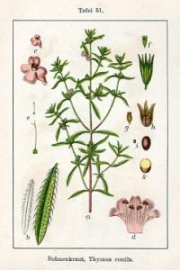 borsikafű, borsfű, pereszlén, hurkafű, csombord, kerti csombor, bécsi rozmaring, csomborbors, kerti izsópfű, kerti méhfű