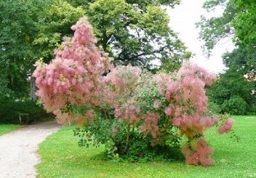 cserszömörce, CSERSZÖMÖRCE, szömörcefa, cserzőfa, szumák, magyar sárgafa