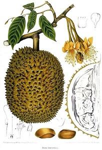 durián, cibetgyümölcs