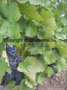 szőlő, borszőlő