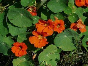 kerti sarkantyúka, kapucinusvirág, nagy sarkantyúka, sarkantyúka