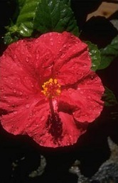 hibiszkusz, rozella, hibiszkuszvirág fotó