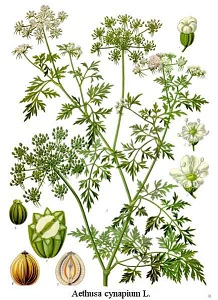 Aethusa cynapium