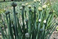 Allium cepa, Allium cepa Linne