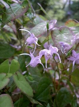 Epimedium grandiflorum, Epimedium brevicorum, Epimedium pubescens, Epimedium koreanum, Epimedium wushanense, és Epimedium acunminatum, Epimedium sagittatum