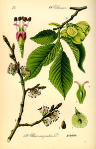 mezeti szil, szilfa, kopasz szil, sima szil, Ulmus carpinifolia Gled., Ulmus minor Miller, Ulmus campestris L.p.p., Ulmus foliacea Gilib.