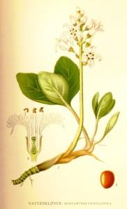 vidrafű, vidraelecke, keserű lóhere, bolyhosvirág, keserű vidrafű, vízi elecke, keserű háromlevelűfű, hármaslevelű vidrafű