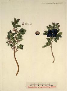 mocsári áfonya