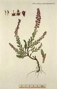 csarab, seprűvirág, csarabfű, közönséges csarab, erika, hanga, avarhanga
