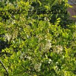 Gyógynövények fenntartható gyűjtését és termesztését segíti a WWF programja