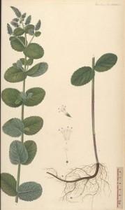 Mentha rotundifolia, Mentha suaveolens