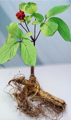 Panax quinquefolius, Panax quinquefolium