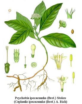 Gillenia stipulata, Psychotria ipecacuanha, Ipecacuanhae radix, Uragoga ipecacuanha; Cephaëlis ipecacuanha