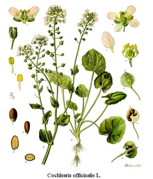 Cochlearia officinalis, Cochlearia anglica