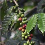 A kávé különleges jótékony hatásai