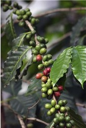 Coffea arabica, Coffeae semen
