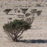 Arábiai tömjénfa, fogfájásra házi módszer