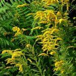 magas aranyvessző, jágerkender, aranyos istápfű, aranyos ruta, aranyvesszőfű