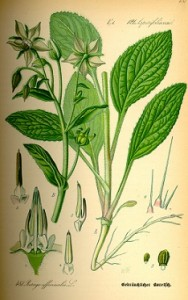 borvirág, borecs, uborkaszagú fű, uborkafű, kerti borágó, borágó