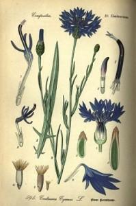 búzavirág, kék búzavirág, vetési búzavirág