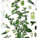 Herpesz ellen gyógynövény - citromfű és menta