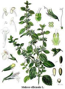citromfű, orvosi citromfű, citromszagú melissza, méhfű, mézfű, kerti méhfű, méregnyomófű, mézontófű