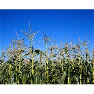 A kukoricát szennyező toxin hatásait vizsgálja a Kaposvári Egyetem