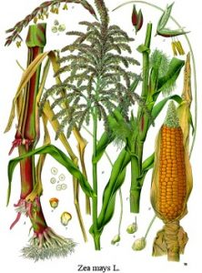kukorica, tengeri, törökbúza