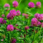 lóhere gyógyhatása, lóhere, Trifolium pretense