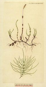 zsurló, mezei zsurló, kannamosófű, bábaguzsaly, cindrót, békarokka, zsúrlófű, kannamosó fű