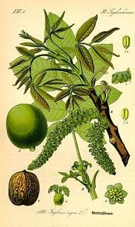 Zöld dió esszencia készítése