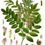 Édesgyökér, Glycyrrhiza glabra, Glycyrrhiza glabra Linne, Glycyrrhiza hirsuta L., Liquiritia officinarum Medic