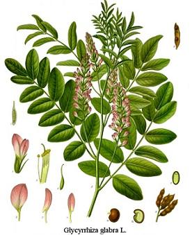 Glycyrrhiza glabra, Glycyrrhiza glabra Linne, Glycyrrhiza hirsuta L., Liquiritia officinarum Medic
