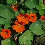 Kerti sarkantyúka az év gyógynövénye