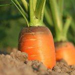 A sárgarépa hatása az égési sérülésekre, fagyásra, és más bajokra