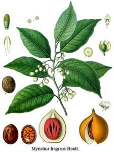szerecsendió, valódi muskátdió, muskátdió, muskátdiófa, valódi muskátdiófa, szerecsendiófa