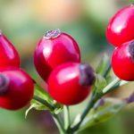 Csipkebogyó a C-vitamin bomba