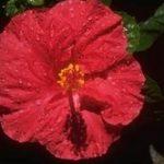 hibiszkusz, rozella, hibiszkuszvirág fotó, idegnyugtató tea