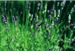 Lavendula officinalis